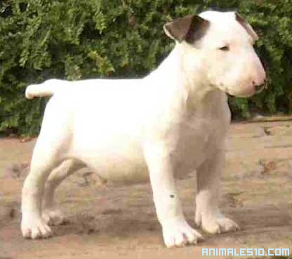 Cachorro de Bul Terrier