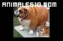 Animales gordos