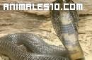 El grito de una serpiente cobra