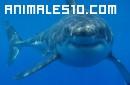 Tiburón blanco, el rey de su especie