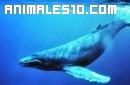 La ballena azul es la más grande del mundo