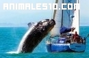 La ballena que salta sobre el velero