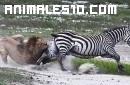 La cebra contra el león