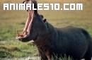 La simulación de la comida de un hipopótamo