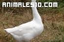 Oca, un ave blanca