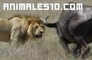 Un búfalo destruye a un león