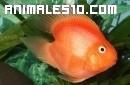 Un pez perico en una pecera