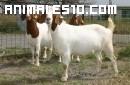 Una curiosa manada de chivos