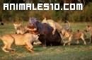 Una manada de leones ataca a un hipopótamo