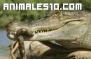 Una serpiente ataca a un cocodrilo