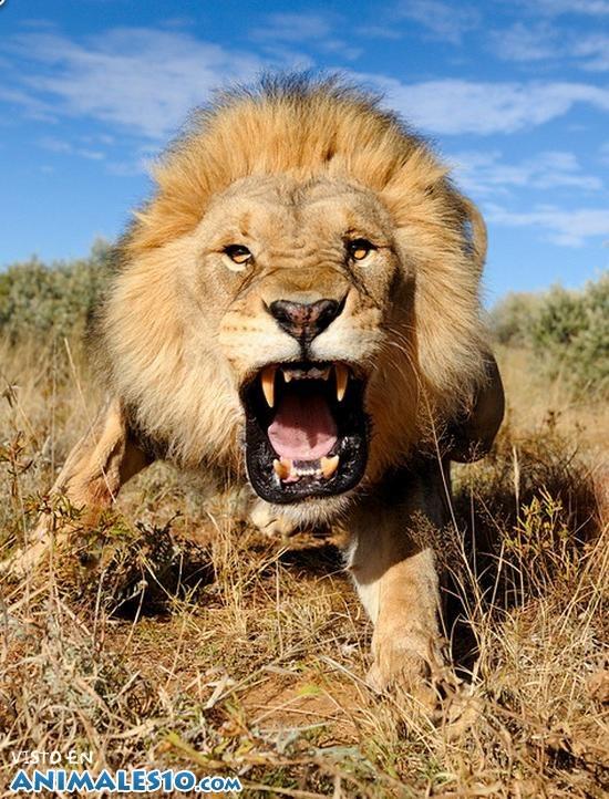 León enfadado cara a cara