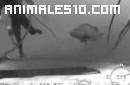 Mero gigante asusta a un submarinista