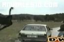 Avestruz atacando un coche