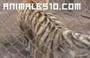 Ataque de Tigre pedorro