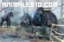 Macho dominante se enfrenta a la manada de gorilas