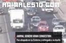 Avestruz por la autopista en Chile