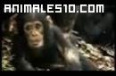 Babuinos contra chimpances
