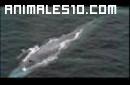 ballena azul, el más grande