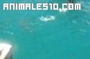 Barracuda sorprende a un pelícano
