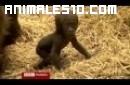 Bebe gorila aprende a andar