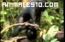 Bonobos en Congo: chimpancés pigmeos en extinción