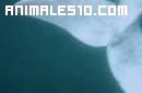 Buceando con ballena austral