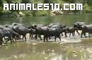 Búfalos Mejicanos