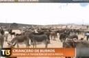 Tambien existe el rodeo de burros salvajes