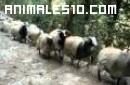 Cabras del Nepal