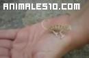 Camaleón enano atrapa una mosca