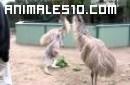 Canguro gigante contra Emú