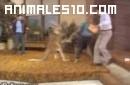 Canguro enfadado en televisión