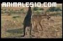 Canguro se enfranta a un Dingo