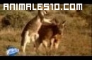 La vida de los canguros