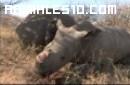 Caza de rinocerontes en Mozambique