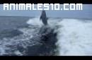 Colision en el aire de dos delfines
