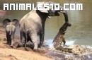 Cocodrilo atrapa a un elefante por la trompa