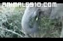 Elefante Nopaleros