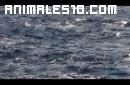 Increible estampida de delfines
