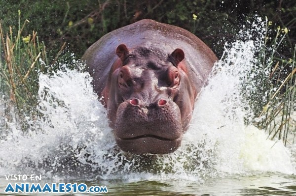 Feroz hipopótamo
