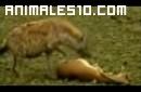 Gacela se hace la muerta y salva la vida
