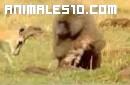 Pequeña gacela espanta a un babuino