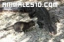 gato ahuyenta a cocodrilo
