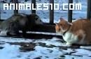Gato domestico contra zarigueya