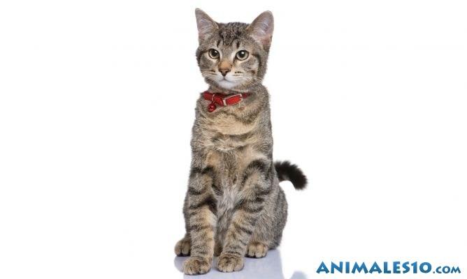 gato europeo con collar