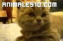Cachorro de gato con narcolepsia