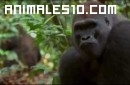 Vida animal, el gorila misterioso