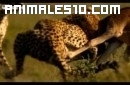 Leones versus guepardos
