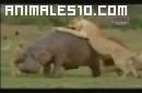Leonas contra hipopotamo