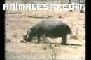 Hipopotamo trata de salvar un impala